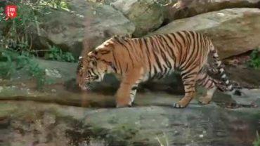 Harimau Sumatra di Kebun Binatang Taronga, Sydney